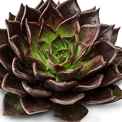 Succulent Echeveria Brown Sugar