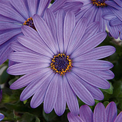 Osteospermum Zion Denim Blue