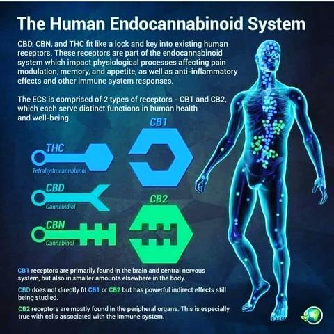 CBD and The ECS ( Endocannabinoid System)