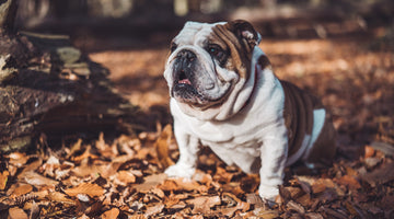 Tips for Keeping Your Bulldog's Coat Clean & Healthy