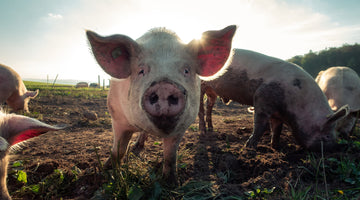 Antibiotic Resistance: How Drug Misuse in Agriculture is Hazardous to Human Health
