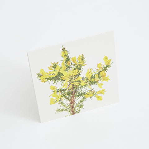 gorse flower greeting card, watercolour illustration by Sonia Caldwell