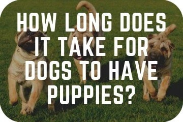 How Long Does It Take For Dogs To Have Puppies? Stages And Length Of Pregnancy Explained