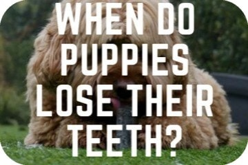 When Do Puppies Lose Their Teeth? Teeth Development and Puppy Teething