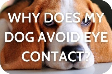Why Does My Dog Avoid Eye Contact?