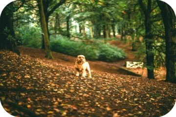 spaniel_in_forest