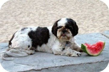 dog_eating_watermelon