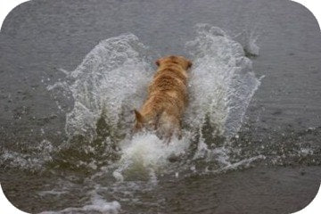 dog_chasing_stick_in_water