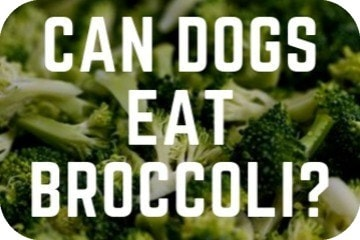 can_dogs_eat_broccoli