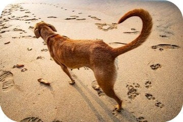 dog_with_bushy_tail