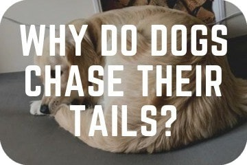 why_do_dogs_chase_their_tails