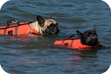 french_bulldogs_in_lifejacket