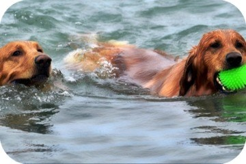 two_dogs_swimming