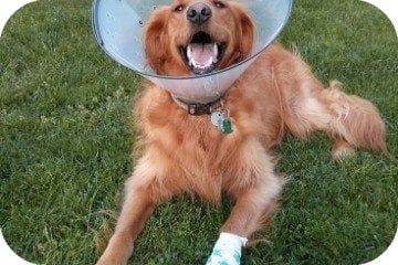 golden_retriever_with_cone_and_bandage