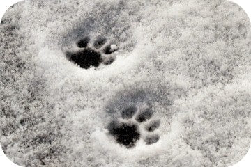 paw_prints_in_snow
