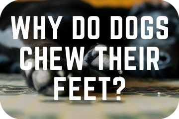 why_do_dogs_chew_their_feet_graphic