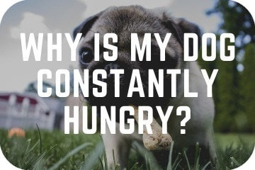 why_is_my_dog_constantly_hungry_graphic