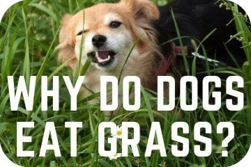 why_do_dogs_eat_grass_graphic