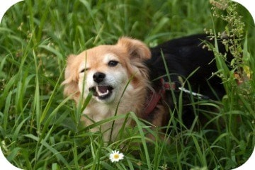 dog_eating_grass