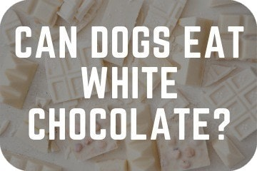 can_dogs_have_white_chocolate