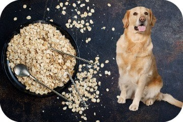 can_dogs_eat_oats