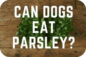 can_dogs_eat_parsley