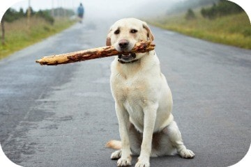 why_do_dogs_like_sticks_why_do_dogs_eat_sticks