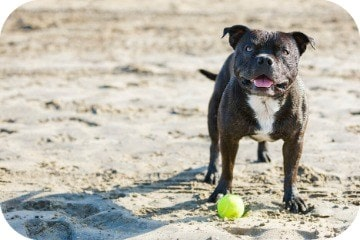 staffie_and_ball_on_beach