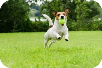 terrier_chasing_ball