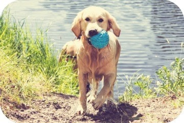 retriever_in_water_with_ball