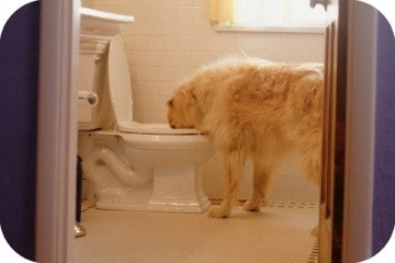 dog_drinking_from_toilet