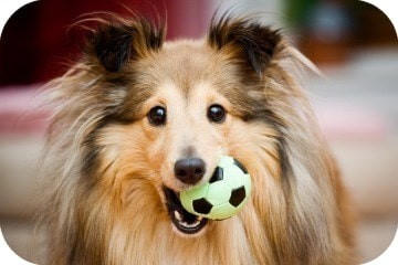 sheltie_with_ball