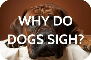 why_do_dogs_sigh