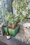 Jade Tree in Green Stone Pot