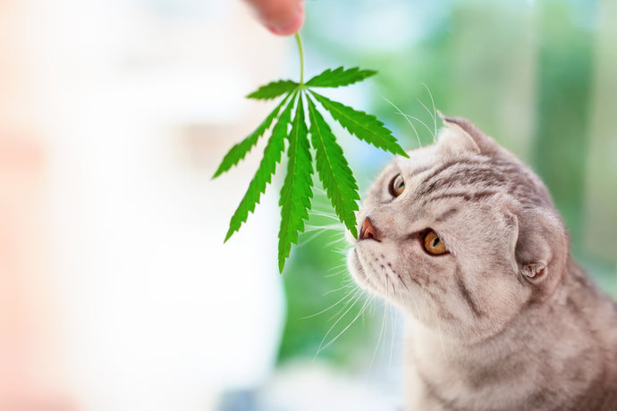 CBD For Pet: Is it Safe? Is It Beneficial?