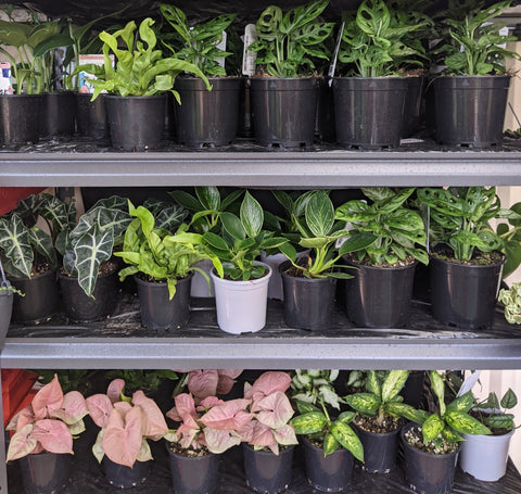 best place to buy plants online in Australia - cheeky plant co.