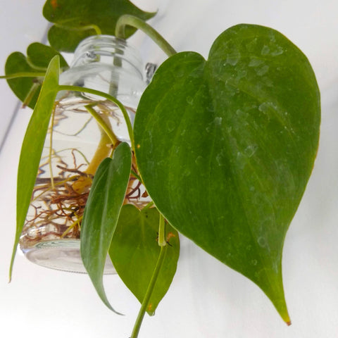 How to Care for a Heart Leaf Philodendron