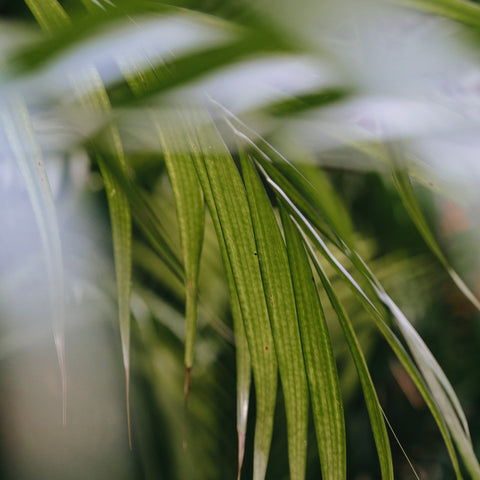 How To Care for A Parlour Palm Plant