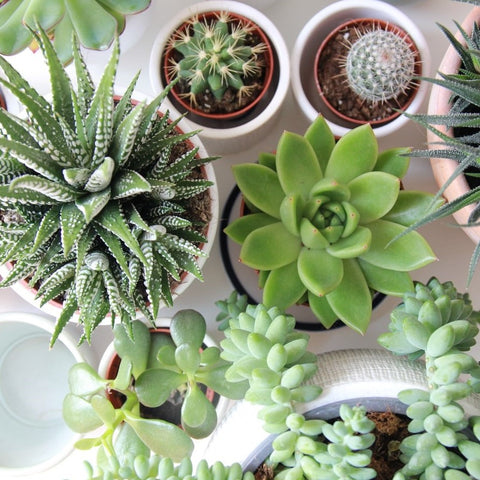 How to Keep Succulents Alive in Your Home