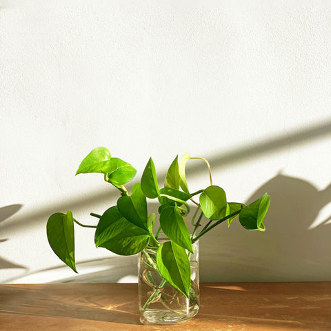 The Differences Between Pothos and Philodendron