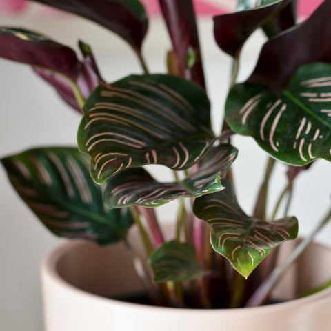 How to Care for a Calathea
