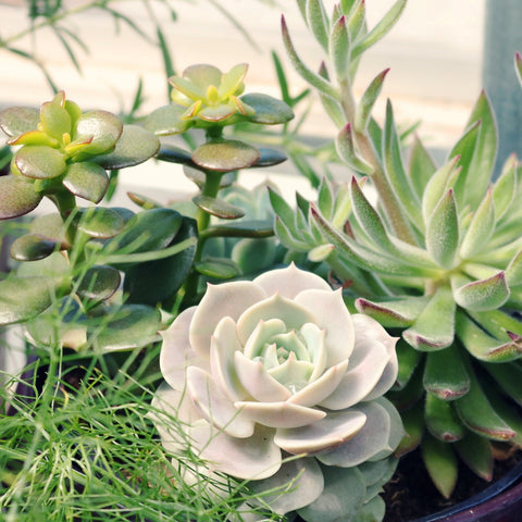 Five Mistakes People Usually Make with Succulents