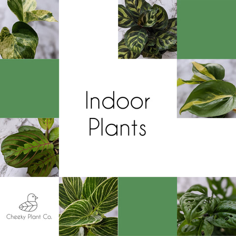 indoor plants delivery adelaide - cheeky plant co.