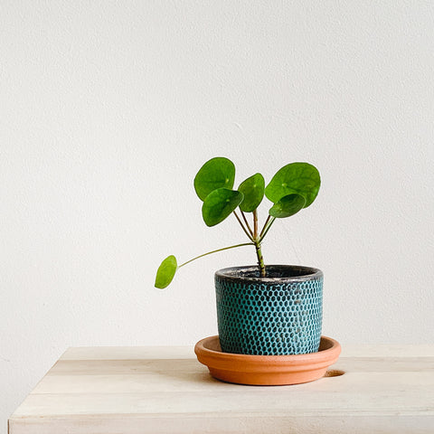 caring for a chinese money plant