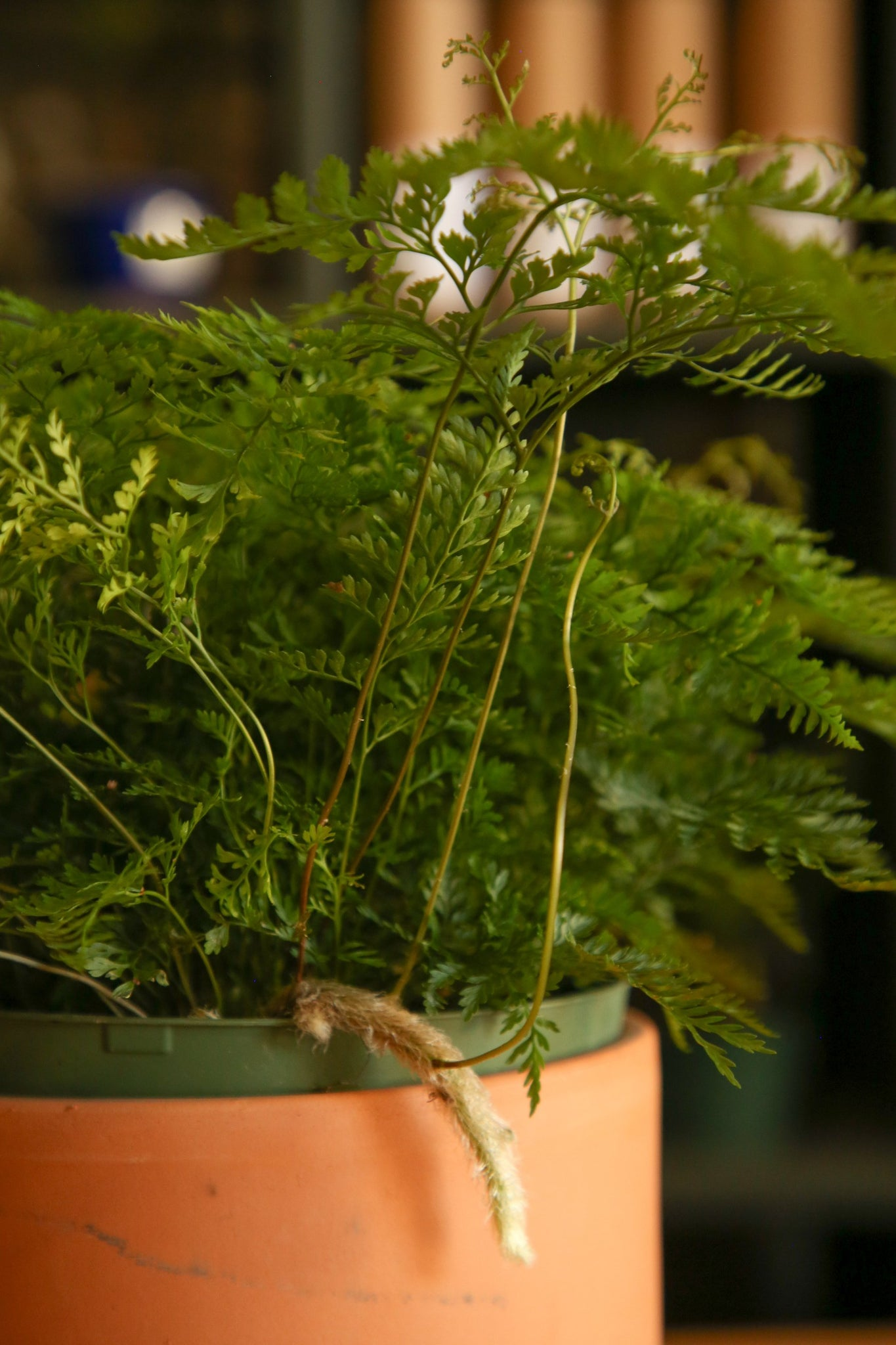 Rabbit's Foot Fern Care