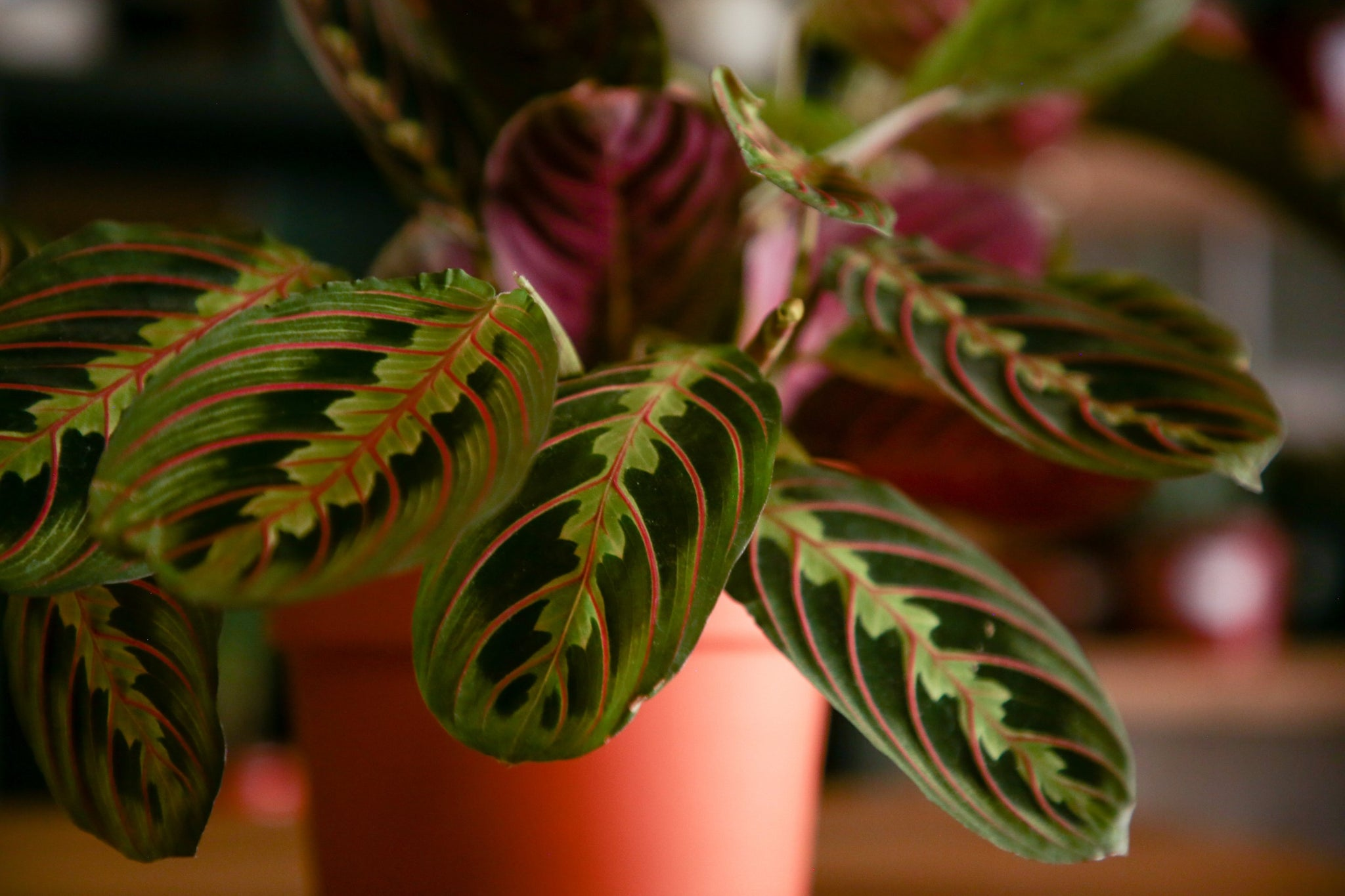 Maranta (Prayer Plant) Care