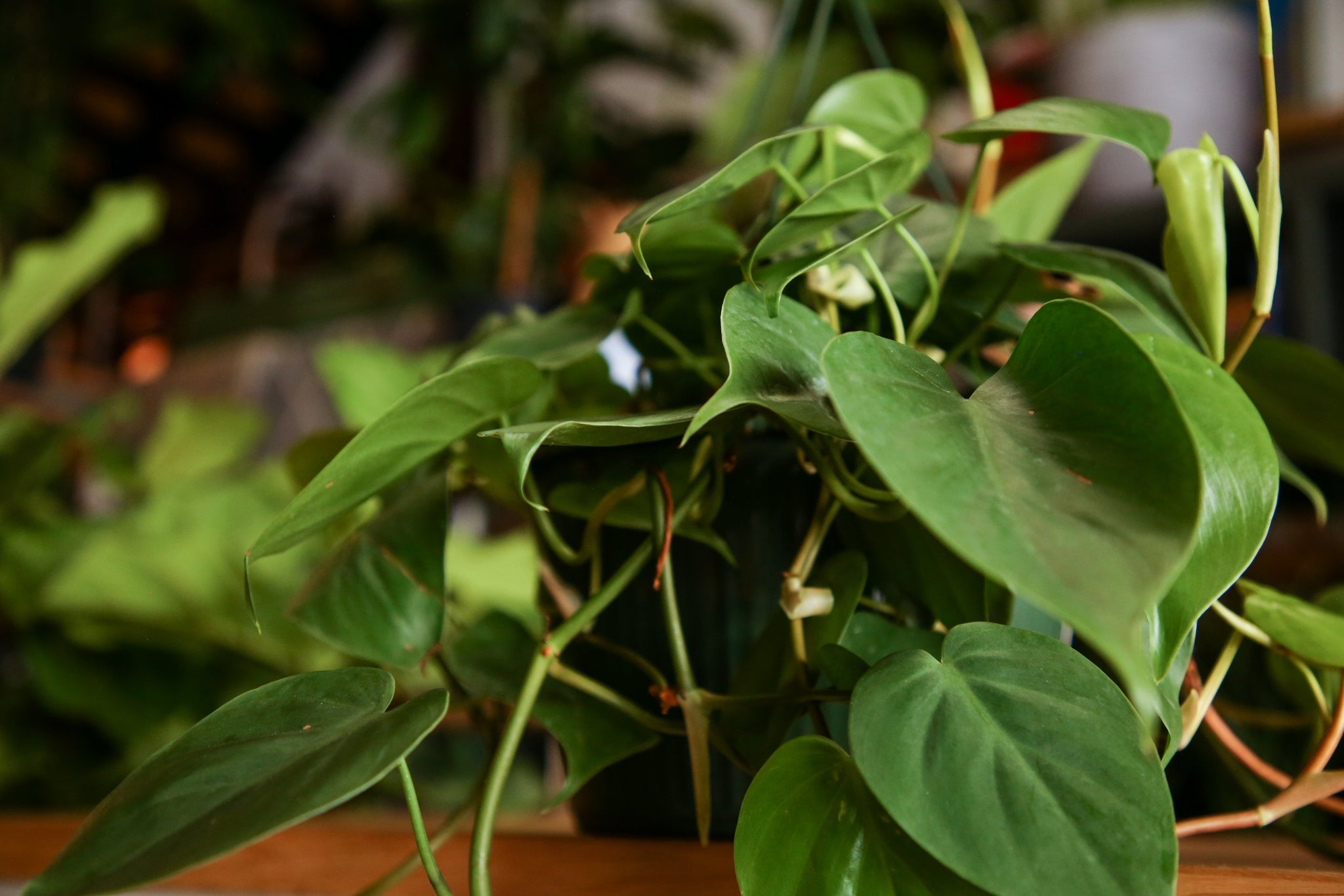 Philodendron Cordatum [Heart Vine] Care