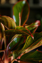Load image into Gallery viewer, Aglaonema Siam