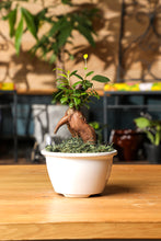 Load image into Gallery viewer, Potted Bonsai