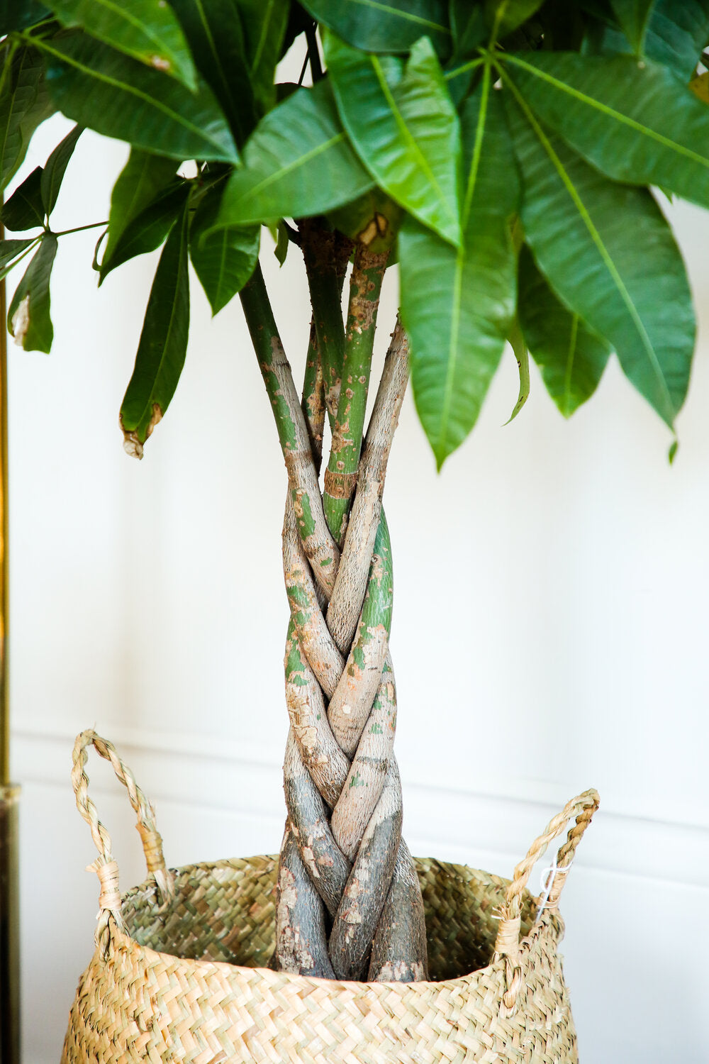 Braided Money Tree